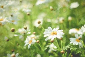 [Image: daisies]